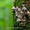 Helmlinge an Baumstamm