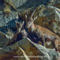 Steingeiß mit Kitz, Gran Paradiso Nationalpark