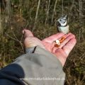 Haubenmeise (Lophophanes cristatus) holt Futter aus der Hand