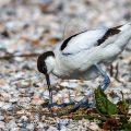 Säbelschnäbler (Recurvirostra avosetta) am Nest