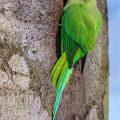 Halsbandsittich (Psittacula krameri) Männchen
