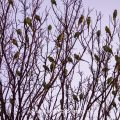Halsbandsittiche (Psittacula krameri) an ihrem Schlafbaum