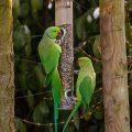 Halsbandsittiche (Psittacula krameri) an der Winterfütterung