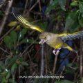 Grünfinken vor unruhigem HG. Für so einen Fall verwende ich HG-Bilder, Blitzlicht
