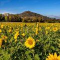 Limburg mit Sonnenblumenfeld, Weilheim, BW