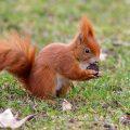 Eichhörnchen (Sciurus vulgaris) mit Schwarznuss