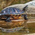 Gelbbauch-Schmuckschildkröte (Trachemys scripta