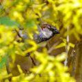 Haussperling (Passer domesticus) Männchen
