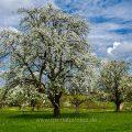 Birnbaum in den Streuobstwiesen bei Weilheim