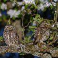 Steinkäuze (Athene noctua) Männchen und Weibchen