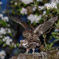 Steinkauz (Athene noctua) Paarung