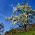 Birnbaum, Streuobstwiesen beim Gelben Fels, Brucken