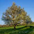 Birnbaum in den Streuobstwiesen bei Dettingen/Teck