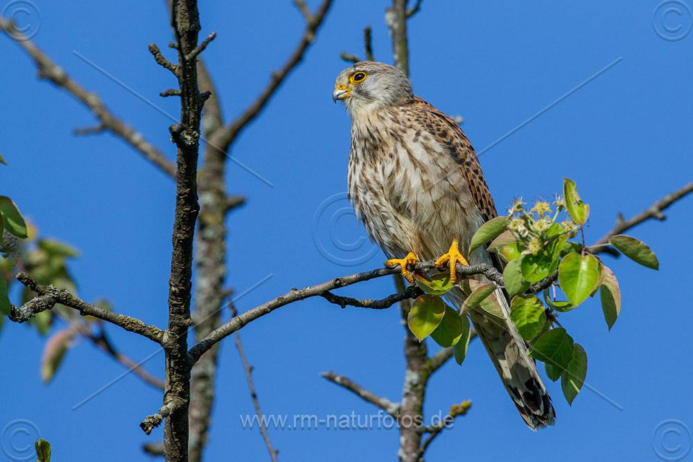 Turmfalke (Falco tinnunculus) Männchen