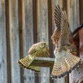 Turmfalke (Falco tinnunculus) Männchen und Weibchen am Nistkasten