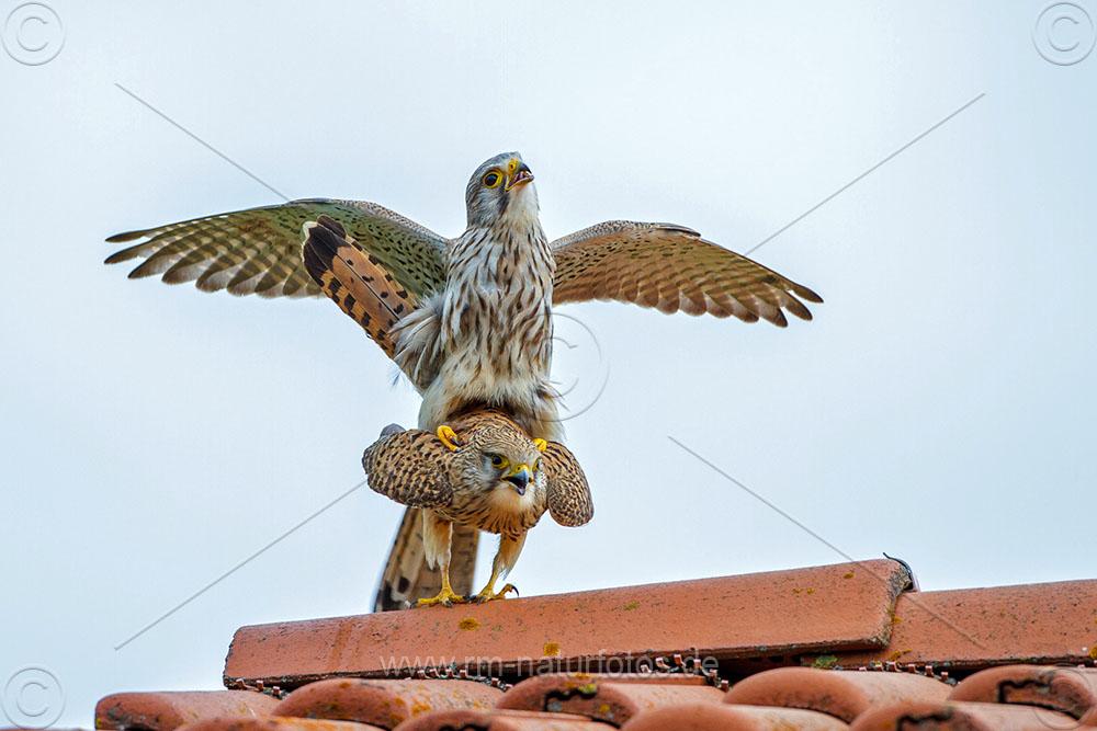 Turmfalke (Falco tinnunculus) Paarung