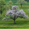 Apfelbaum in der Blüte, Notzingen-Wellingen
