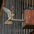 Turmfalke (Falco tinnunculus) Männchen landet am Nistkasten