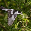 Halsbandschnäpper (Ficedula albicollis) Männchen