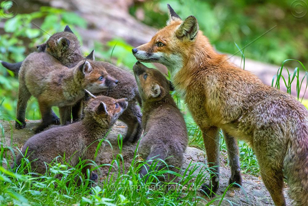 Rotfuchs (Vulpes vulpes) mit Jungen