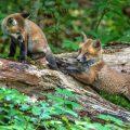 Rotfuchs (Vulpes vulpes), Jungfüchse