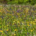 Blumenwiese mit Artenreicher Flora
