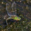 Große Königslibelle (Anax imperator) Weibchen bei der Eiablage