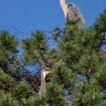 Graureiher (Ardea cinerea) Alt- und Jungvogel