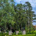 Graureiher-Kolonie auf zwei Kiefern, Friedhof, Kirchheim