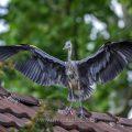 Graureiher (Ardea cinerea) Jungvogel