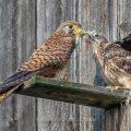 Turmfalke (Falco tinnunculus) Weibchen füttert Junge am Nistkasten