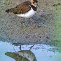 Kiebitz (Vanellus vanellus) Jungvogel