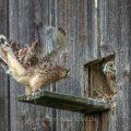 Turmfalke (Falco tinnunculus) Jungvoge lübt seine Schwingen