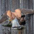 Turmfalke (Falco tinnunculus) Männchen mit Maus am Nistkasten