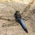 Großer Blaupfeil (Orthetrum cancellatum) Männchen