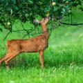 Reh (Capreolus capreolus) am Apfelbaum