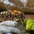 Honigbiene (Apis mellifera) beim Wasser holen