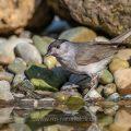 Mönchsgrasmücke (Sylvia atricapilla) Männchen am Vogelbad