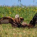 Rotmilane (Milvus milvus) streiten sich