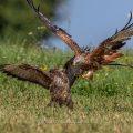 Mäusebussard (Buteo buteo) und Rotmilan (Milvus milvus) streiten