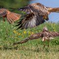 Mäusebussard und Rotmilane (Milvus milvus) streiten sich