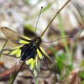 Bild 19 - Libellen-Schmetterlingshaft (Libelloides coccajus)