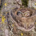 Bild 23 - Steinkauz (Athene noctua) schaut aus seiner Höhle