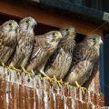 Bild 25 - Turmfalke (Falco tinnunculus) Jungvögel schauen aus Nistkasten