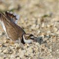 Flußregenpfeifer (Charadrius dubius) beim anlegen der Nestmulde