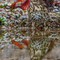 Singdrossel (Turdus philomelos)