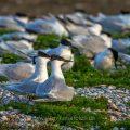 Brandseeschwalben (Sterna sandvicensis)