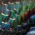 Kiebitz (Vanellus vanellus) Ausschnitt aus dem Gefieder