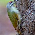 Grauspecht (Picus canus) Männchen