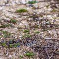 Kiebitz (Vanellus vanellus) Gelege
